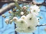 Hanami : la contemplation des fleurs Th_blanc