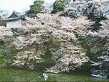 Hanami : la contemplation des fleurs Th_chidorigafuchi
