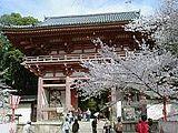 Hanami : la contemplation des fleurs Th_daigoji