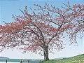 Hanami : la contemplation des fleurs Th_fugenzo1