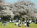 Hanami : la contemplation des fleurs Th_hanami1