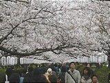 Hanami : la contemplation des fleurs Th_hanami2