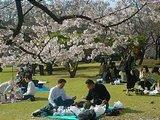 Hanami : la contemplation des fleurs Th_hanami4