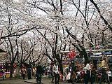Hanami : la contemplation des fleurs Th_hirano