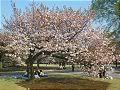 Hanami : la contemplation des fleurs Th_ichiyo1
