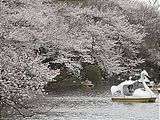 Hanami : la contemplation des fleurs Th_inokashirapark