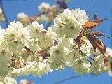 Hanami : la contemplation des fleurs Th_jaunatre