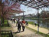 Hanami : la contemplation des fleurs Th_kamogawa