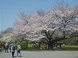Hanami : la contemplation des fleurs Th_koishikawa
