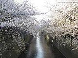 Hanami : la contemplation des fleurs Th_maguroriver