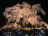 Hanami : la contemplation des fleurs Th_maruyama
