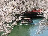 Hanami : la contemplation des fleurs Th_okazaki