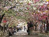Hanami : la contemplation des fleurs Th_osakamint