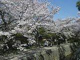 Hanami : la contemplation des fleurs Th_philosopher