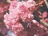Hanami : la contemplation des fleurs Th_rose