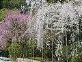 Hanami : la contemplation des fleurs Th_shidarezakura1