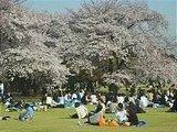 Hanami : la contemplation des fleurs Th_shinjukugyoen