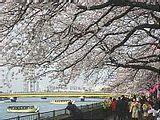 Hanami : la contemplation des fleurs Th_sumida