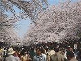 Hanami : la contemplation des fleurs Th_ueno