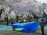 Hanami : la contemplation des fleurs Th_uenobef8