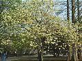 Hanami : la contemplation des fleurs Th_ukon1