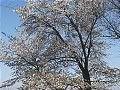 Hanami : la contemplation des fleurs Th_yamazakura1