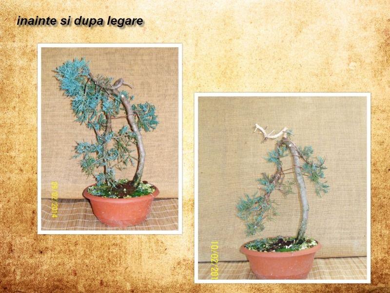 pomisorii mei - Pagina 3 Collage-ienupar5_zps018dd661