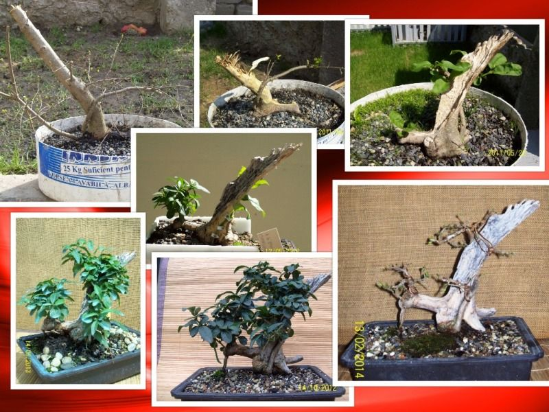 pomisorii mei - Pagina 3 Collage-ligustrum_zpsf1a8131f