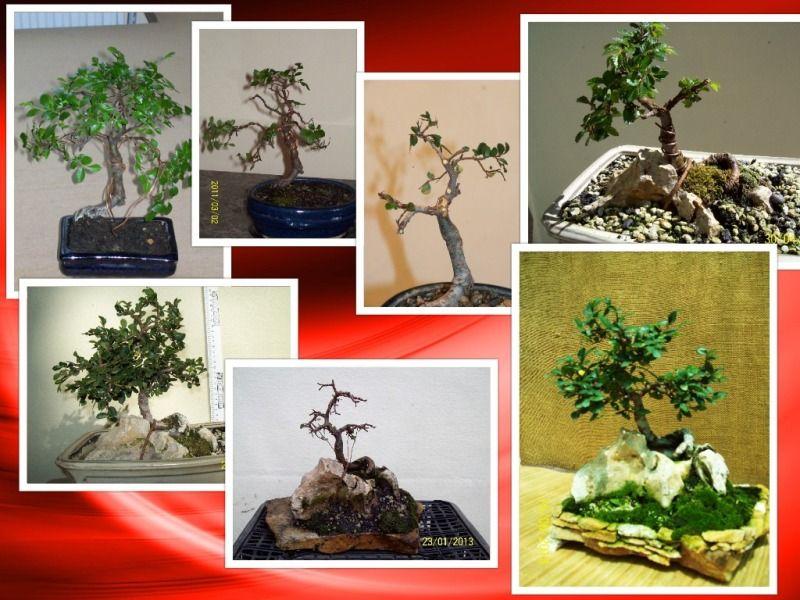 pomisorii mei - Pagina 3 Collage-ulmchinezesc1_zps9a247865