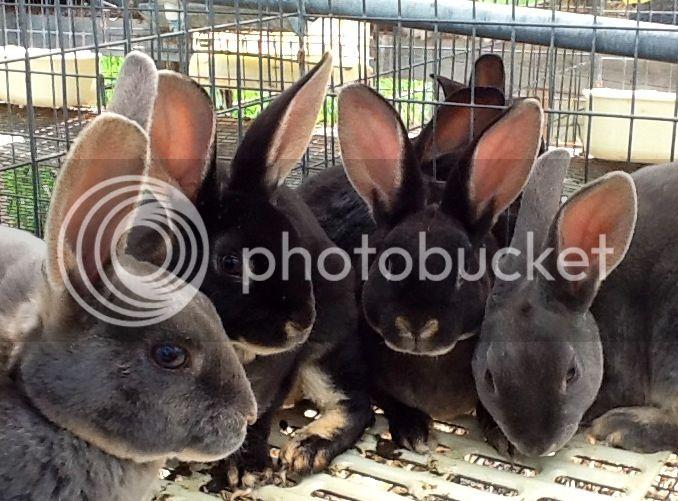 Beautiful Rex Rabbits for sale 8d5d0da9d835edf10c16e67a272926f6
