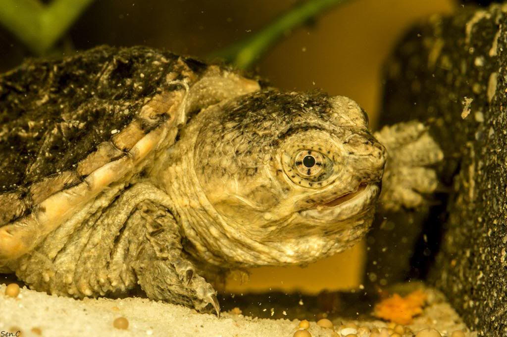 Mes tortues...(SEN.C) - Page 16 002_zps19f28133