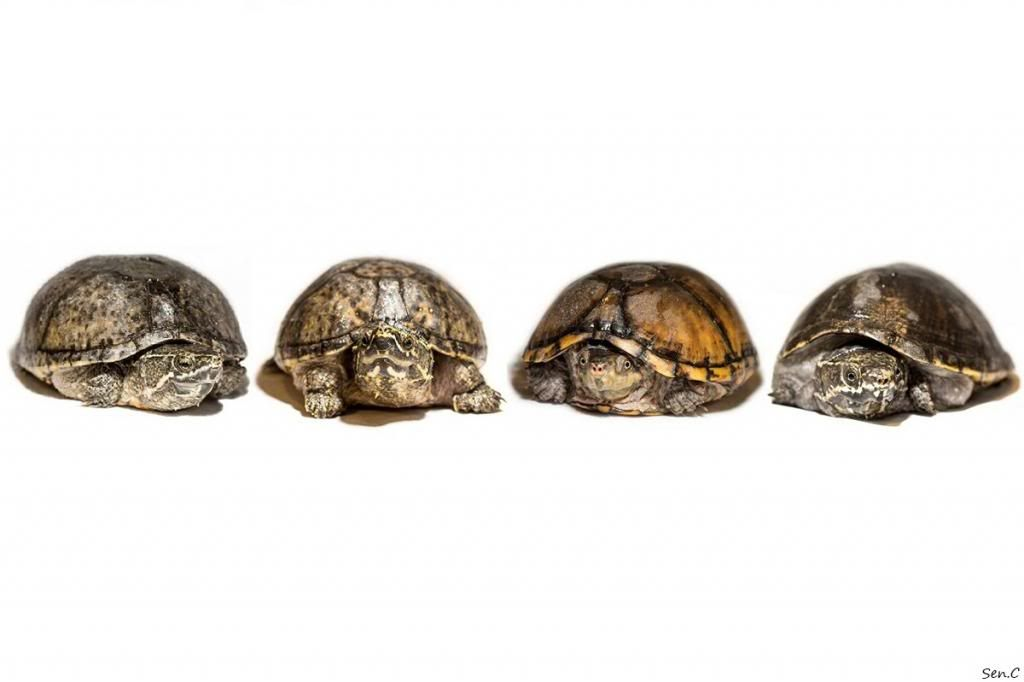 Mes tortues...(SEN.C) - Page 17 1009098_240527776132672_1314836276_o_zpsdcde5827