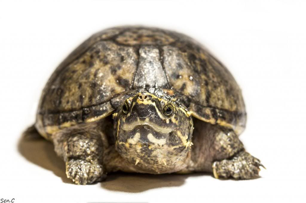 Mes tortues...(SEN.C) - Page 17 F1_zpsbd394072