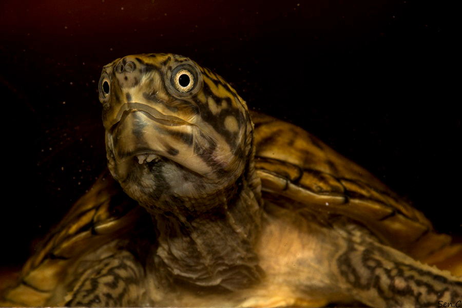 Mes tortues...(SEN.C) - Page 15 IMG_1229_zpsc496159e