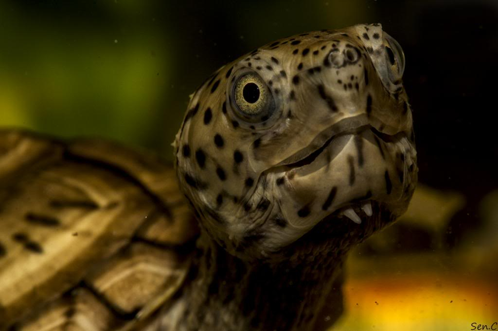 Mes tortues...(SEN.C) - Page 15 IMG_1249_zps0237100f