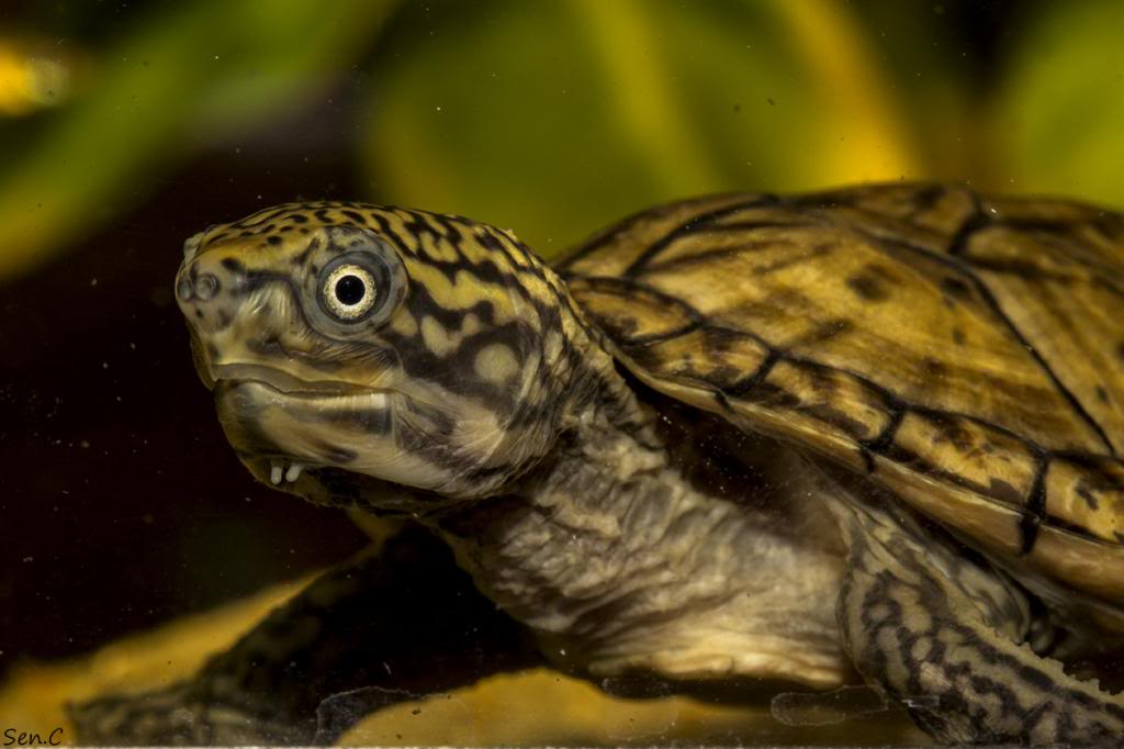 Mes tortues...(SEN.C) - Page 15 IMG_1259_zps80544995