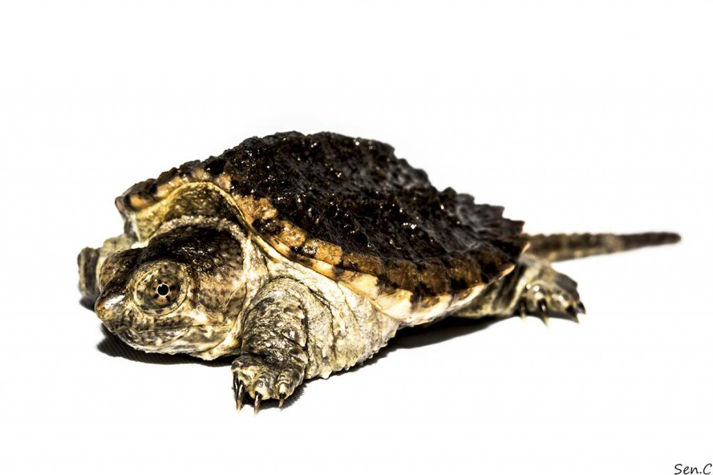Mes tortues...(SEN.C) - Page 15 IMG_1445_zps285bf509