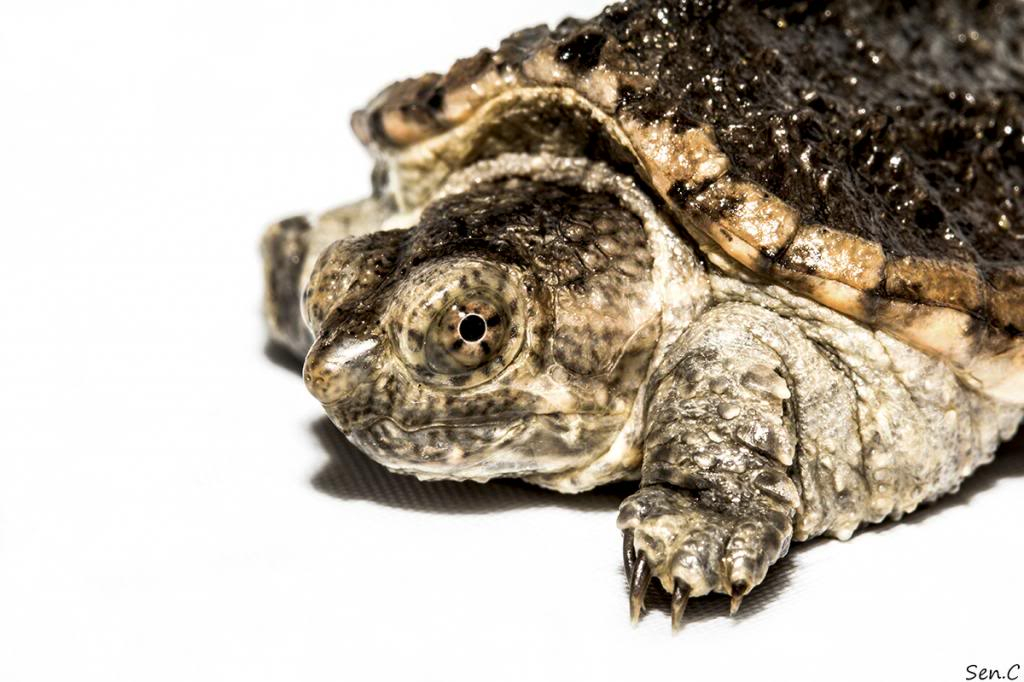 Mes tortues...(SEN.C) - Page 15 IMG_1451_zps0a335e32