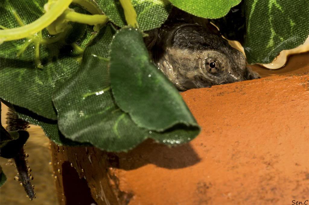 Mes tortues...(SEN.C) - Page 15 IMG_1460_zps13a47110