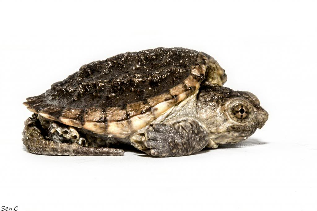 Mes tortues...(SEN.C) - Page 15 IMG_1470_zpsd44fbfd2