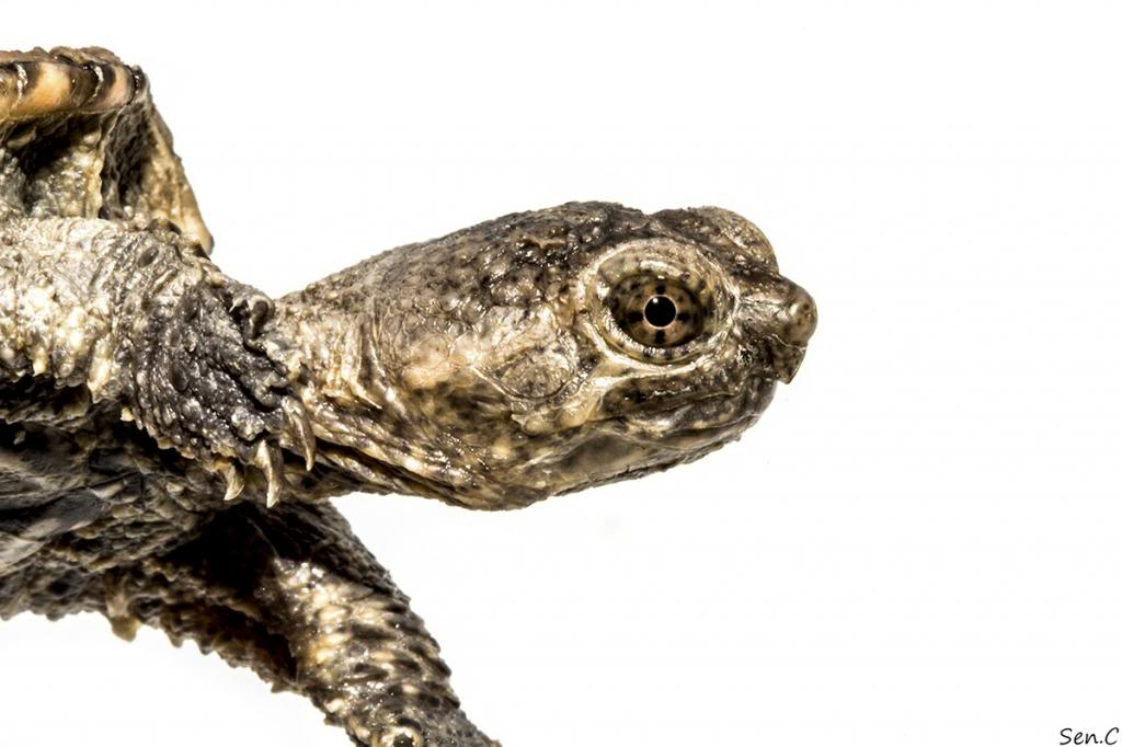Mes tortues...(SEN.C) - Page 15 IMG_1476_zps28df0592