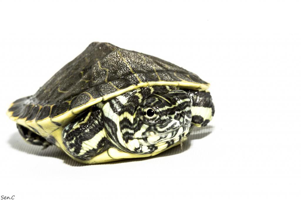 Mes tortues...(SEN.C) - Page 15 IMG_1477_zpsb00d54f5