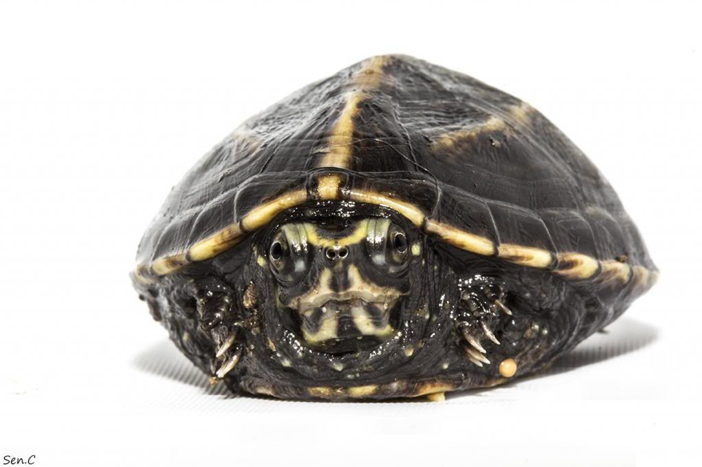 Mes tortues...(SEN.C) - Page 15 IMG_1487_zps113b3d08