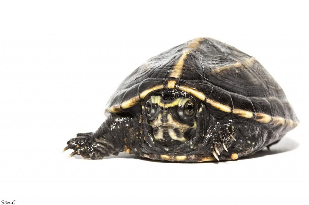 Mes tortues...(SEN.C) - Page 15 IMG_1490_zps6a91ac07