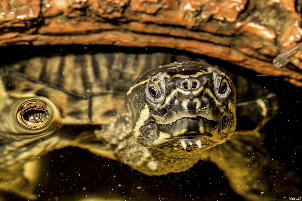 Mes tortues...(SEN.C) - Page 16 IMG_1802_zps301657ed