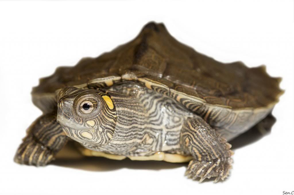 Mes tortues...(SEN.C) - Page 16 IMG_2090_zpsee081ad4