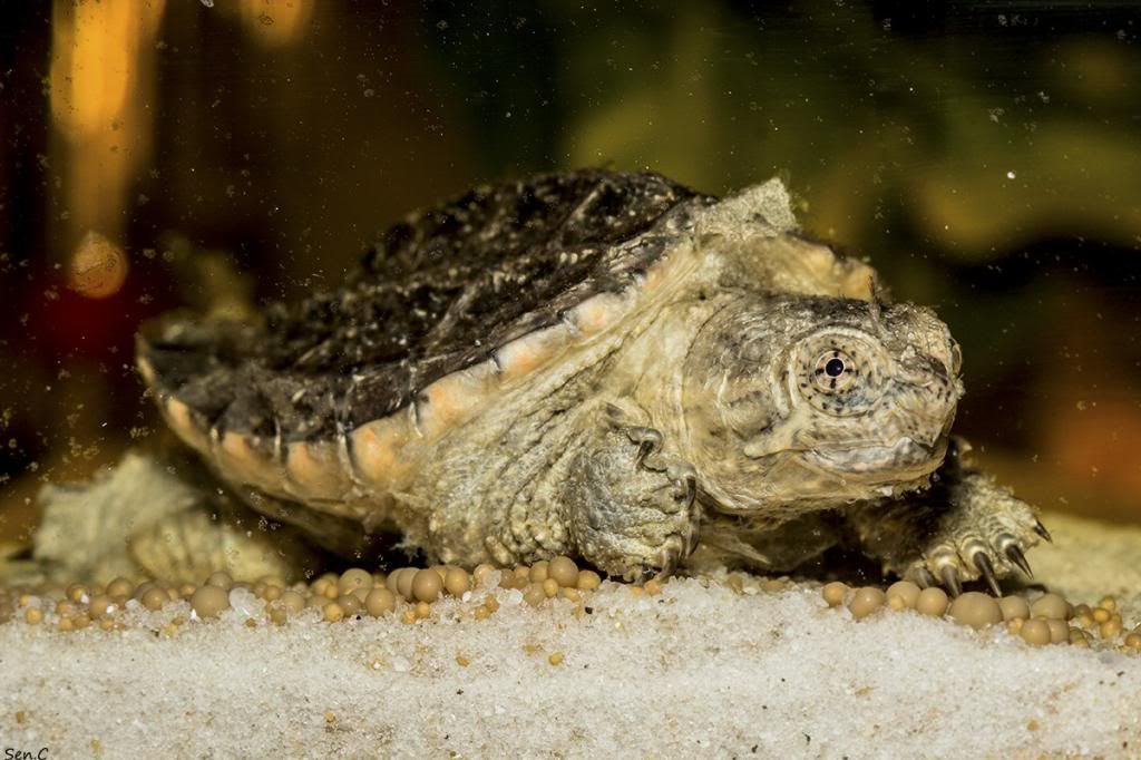 Mes tortues...(SEN.C) - Page 16 IMG_2163_zps64fab874
