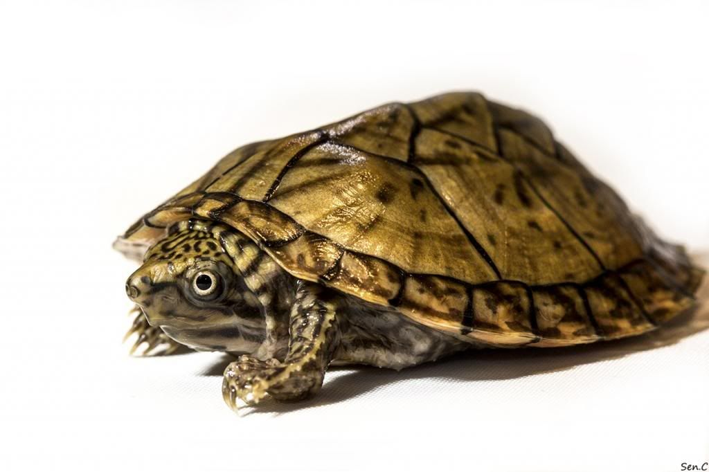 Mes tortues...(SEN.C) - Page 16 IMG_2309_zps21b400df