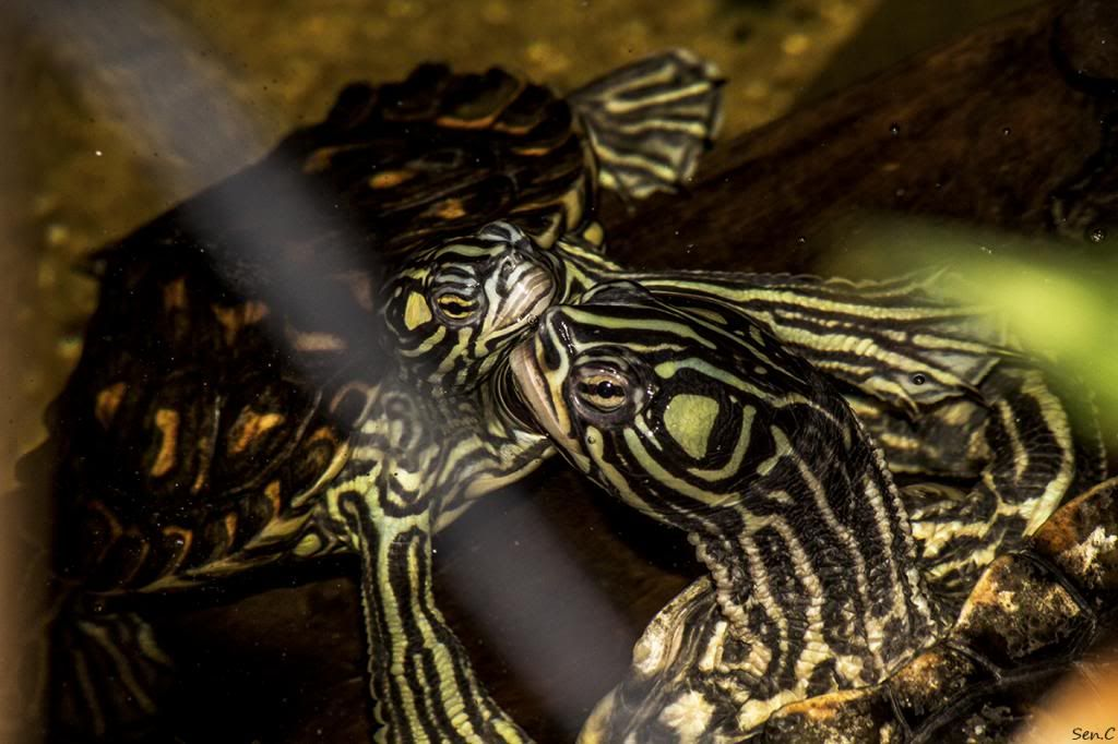 Mes tortues...(SEN.C) - Page 17 IMG_2970_zps99a65630