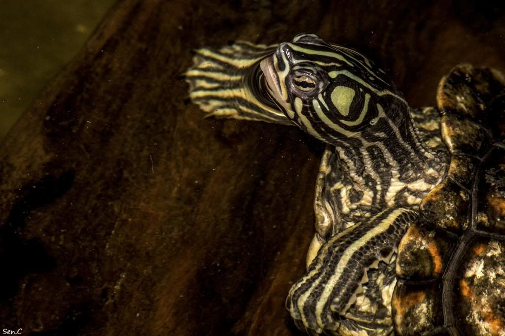Mes tortues...(SEN.C) - Page 17 IMG_2974_zpsb6aaf9a7
